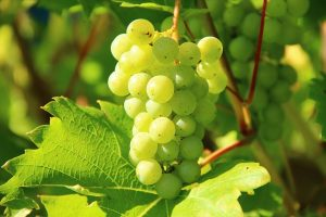 Viniseera szőlőmag őrlemény infók + vásárlás